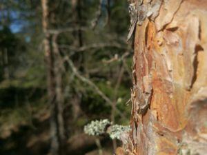 Lahopuut turvaavat metsän monimuotoisuutta