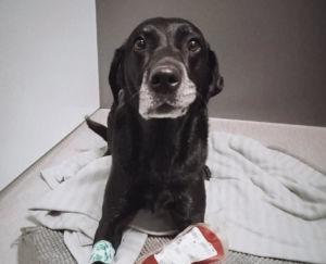 Rohkea Alma-koira luovutti verta eläinlääkäriaseman veripankkiin. Kuva: Linda Sundvik