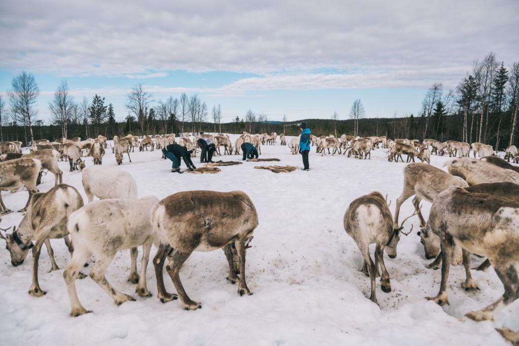 Joogaajat asettevat porontaljoja lumelle suuren porotokan ympäröimänä. Taustalla luminen vaaramaisema.