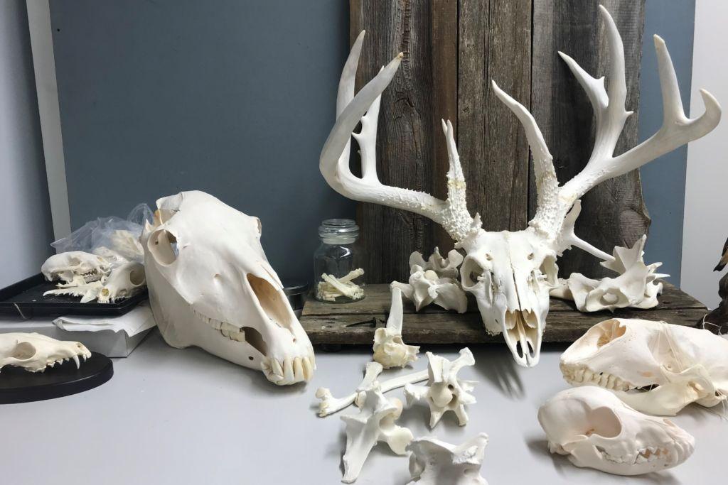 Kuvassa konservaattorin puhdistamia eläinten pääkalloja. Kalloja mm. seuraavilta eläimiltä: peura, hevonen, koira. Kuvaaja Hanna Levänen